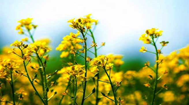 Assam: Distribution of rapeseed-mustard under zero tillage in Hailakandi