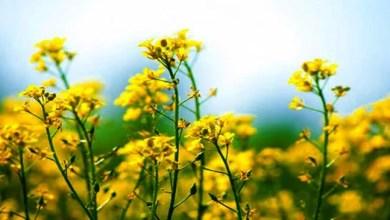 Assam: Distribution of rapeseed-mustard under zero tillage in Hailakandi