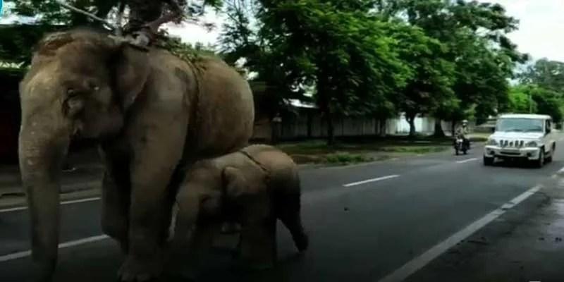Assam: Golaghat Police Arrest Female Elephant For Killing 14-year-old Boy