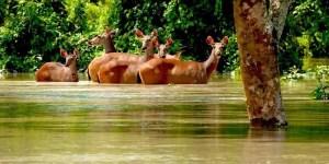 Assam: Floods claim lives of feral horses, hog deer in Assam national parks