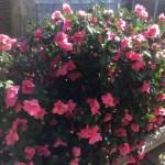 Delphinium in bloom