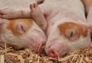 Im Kampf gegen die Schweinepest mit Northeimer Dr. Roy Kühne und Ministerin Julia Klöckner