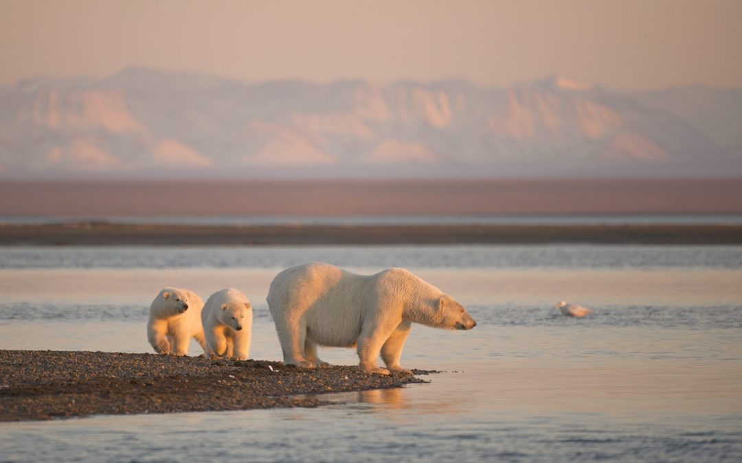 Action Alert: Protect Polar Bears from Seismic Testing