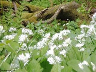 Wild garlic, Billy Bank Wood, Richmond, Yorkshire