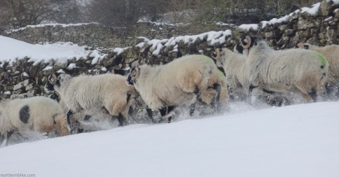 Swaledale ewes in the snow, Swaledale, Yorkshire