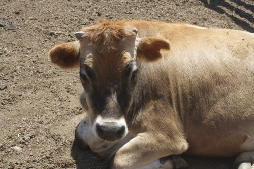 The farm has one dairy cow and a few beef cattle, similar to the kinds of cows raised by the Bees over the years.