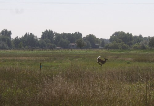 A doe bounded across the field when I visited the Brinks property this week.