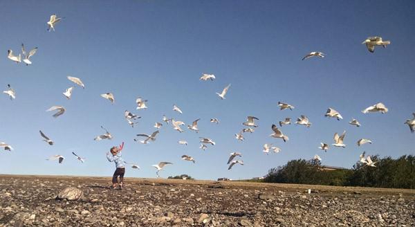 Alaska Dipnetting Seagulls
