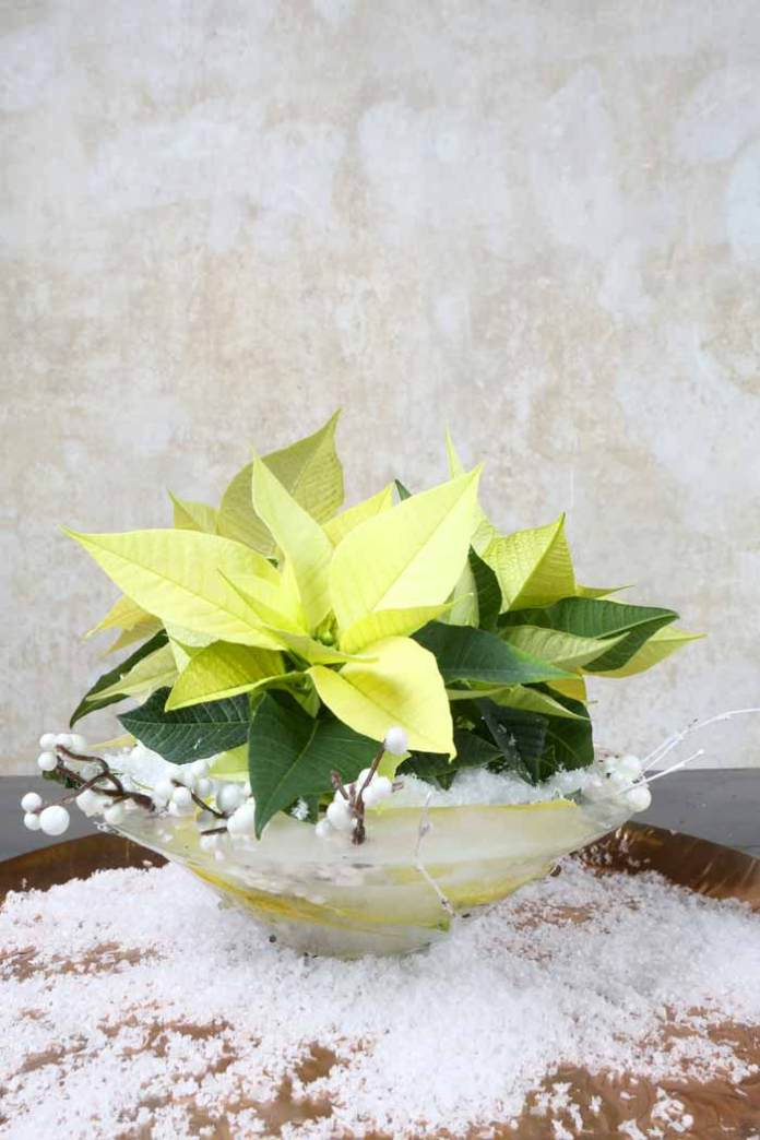 Poinsettia Ice Queen