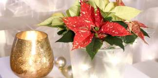 Poinsettia Shooting Star