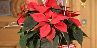 Poinsettia Winter Warmers