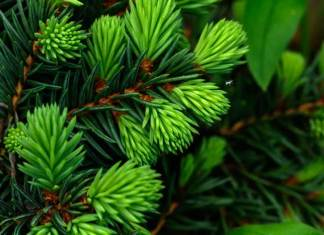 Choosing the perfect Christmas tree