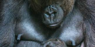 Miliki and Makari the Western Lowland Gorillas by Shaun Wilson