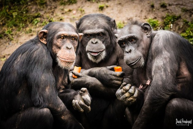 Chimps Plotting, David Prendergast