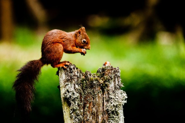 Red Squirrel by Ian Fazackerley