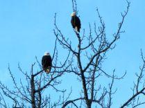 Eagles at Big Susitna River