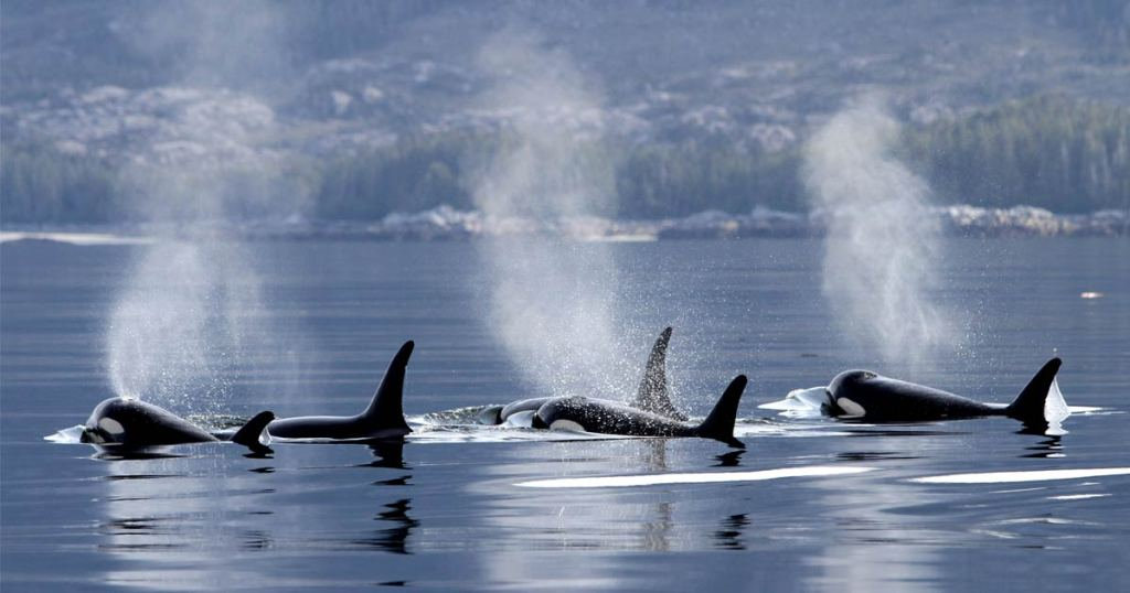 A pod of killer whales not too far from shore comes to the surface and spouts of water rise up.