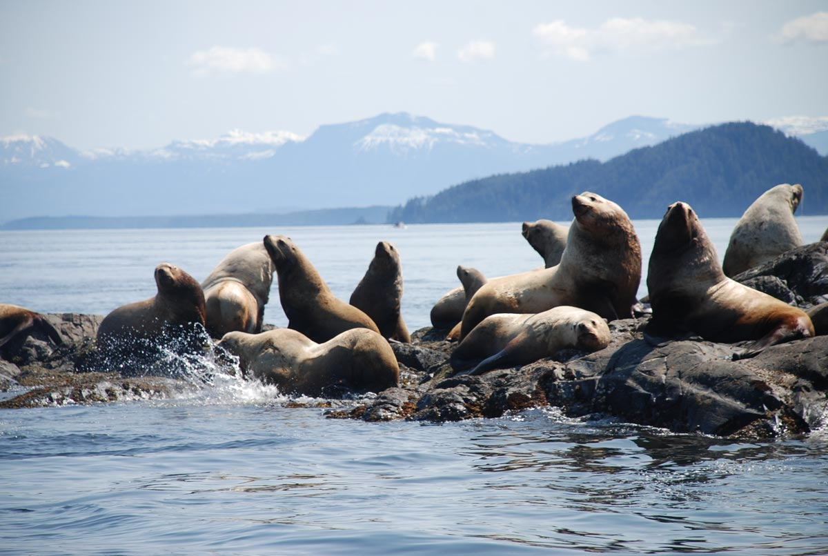 A group of Steller sea lions sits on a rock outcropping on the coast on a sunny day, with mountains in the background.