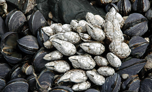 A cluster of white gooseneck barnacles and black mussels.