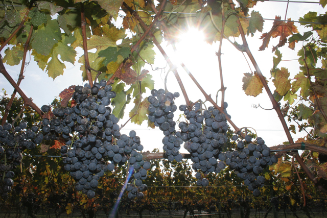 wine column louisa hargrave