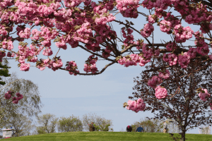 Cherry blossoms in bloom at Cherry Creek Golf Links in Riverhead. (Credit: Barbaraellen Koch)