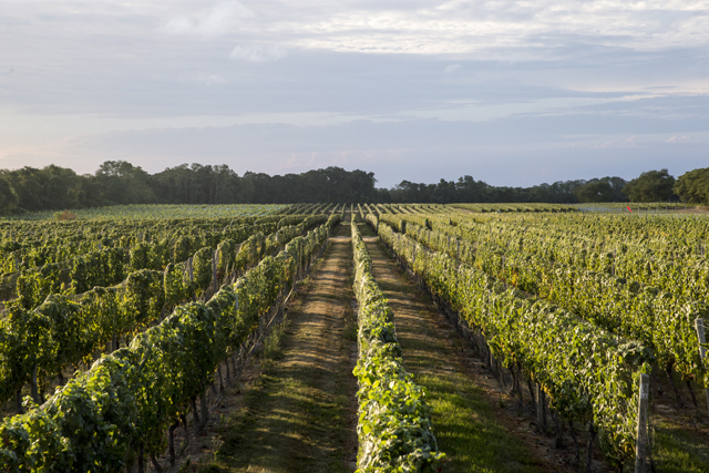 Long Island winery wine grapes harvest