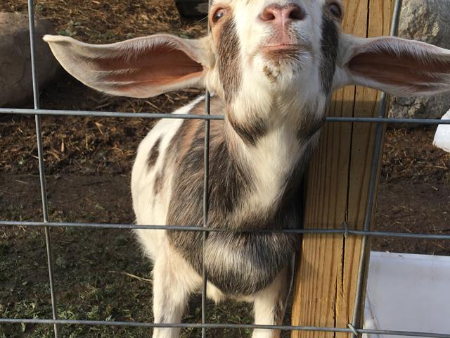 North Fork goat