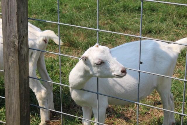 Catapano Dairy Farm goat