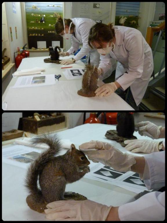 Cleaning squirrels at Letchworth Museum