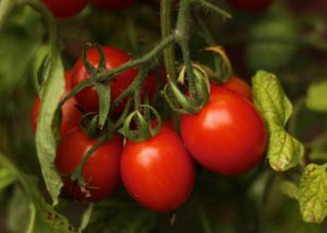 tomatoes_two