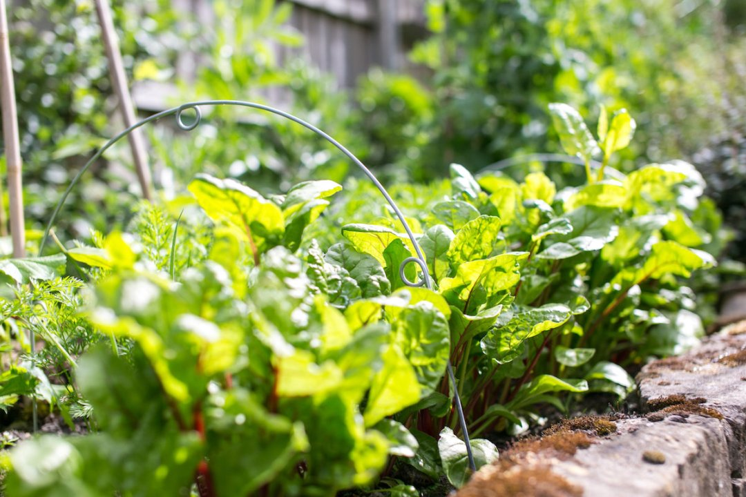 Photo2. Salad_leaves_ready_to_pick