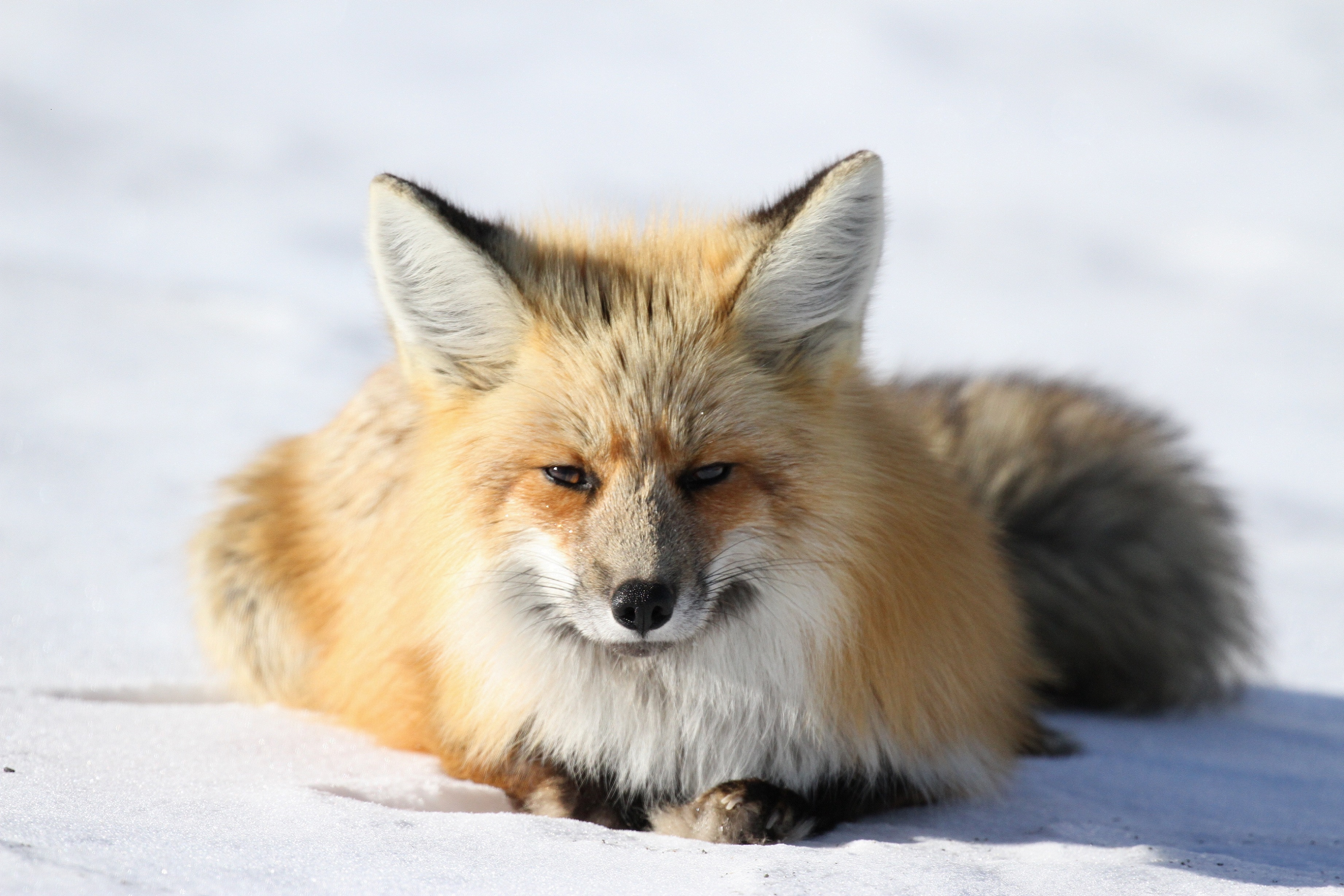 North Line FOX (fox in snow pictured)