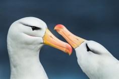 Albatross-Andrew-James-LR