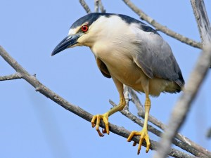 Endangered Black-crowned night heron