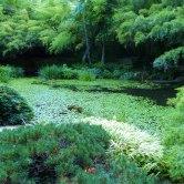 Koi-filled pond
