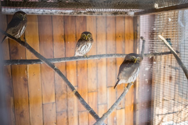 pygmy owls at the Toucan Rescue Ranch