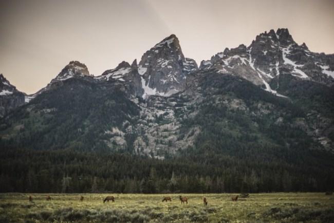 Elk herd at Grand Teton National Park