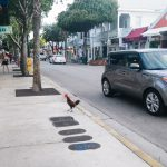 Key West, Florida chicken