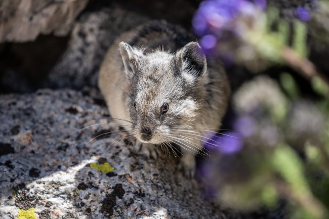 Pika on the Mt Whitney Trail