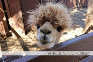 Alpaca in Temecula