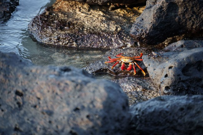Best Camera Gear for the Galápagos Islands - Sony a7III + 100-400mm - Sally lightfoot crab, San Cristobal