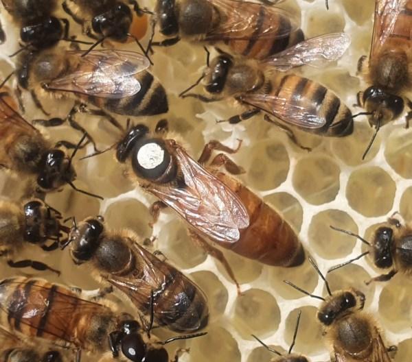 Mated Buckfast Queen Bee for Sale | Northumberland Buckfast VSH Queen Bee By Northumberland Honey Co