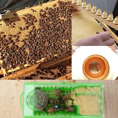 Queen Bee Breeding | Northumberland Honey Co