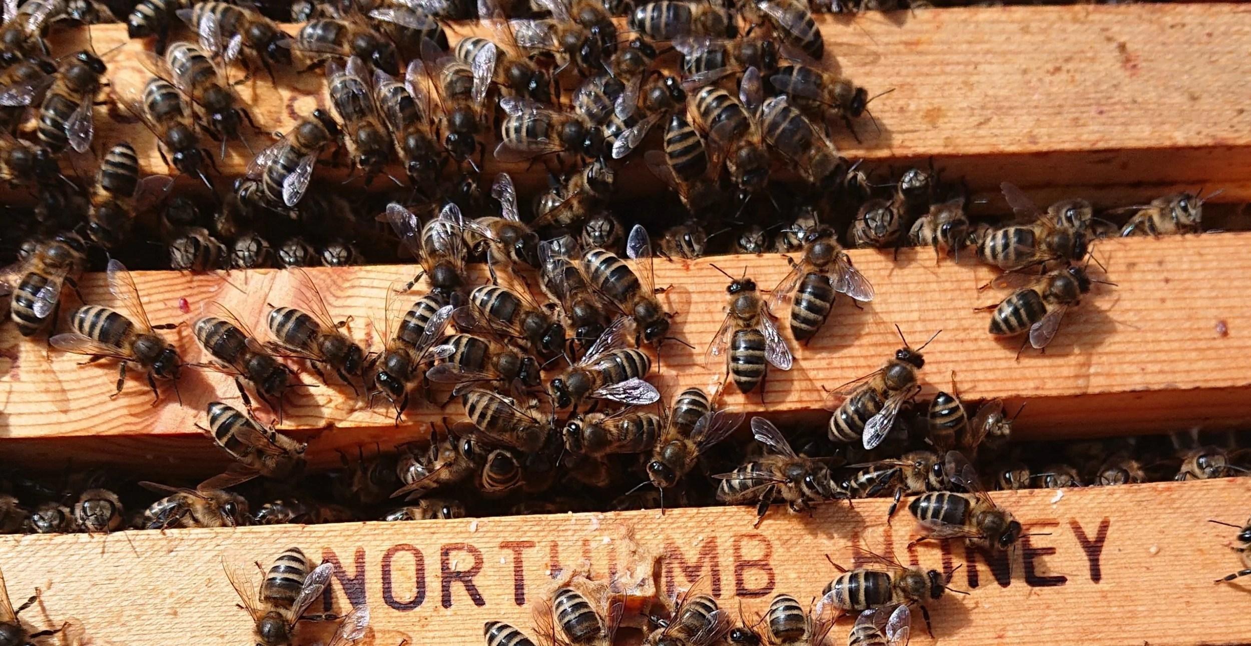 British Black Bees | Northumberland Honey Co | Native Bees
