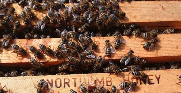 British Black Bees   Northumberland Honey Co   Native Bees