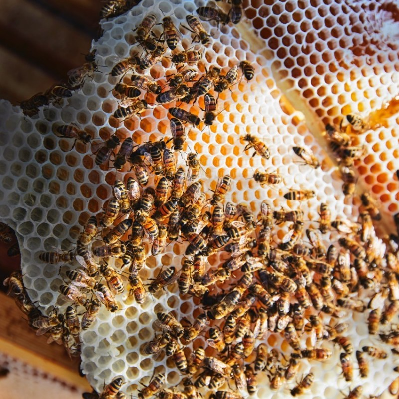 Honey for Mead, bees on honey comb