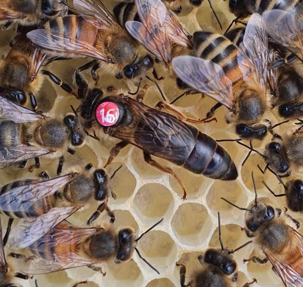 Dark Queen Bee   British Black Queen Bee   Northumberland Queen Bee