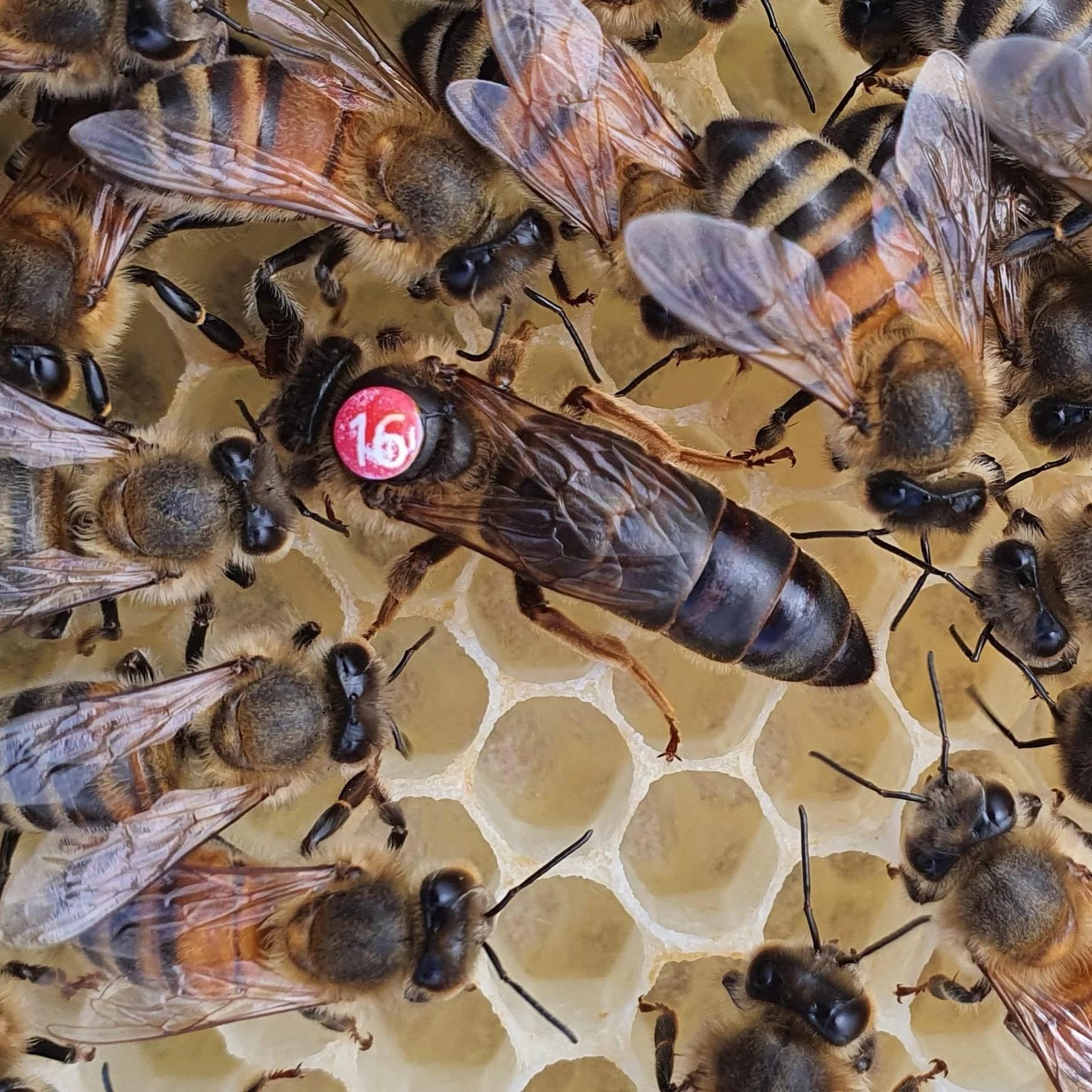 Dark Queen Bee | British Black Queen Bee | Northumberland Queen Bee
