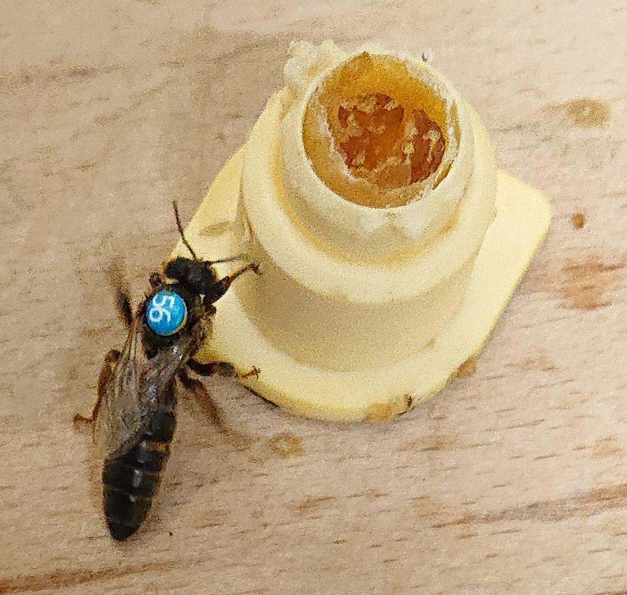 Dark Bee | Northumberland Black Bee | British Black Bee Queen