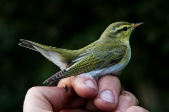 Wood warbler by Ian Fisher